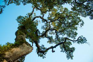Rovere in Quercia Americana (White Oak)